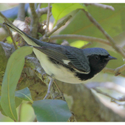 Male. Note: blue above and white belly.