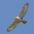 Juvenile Ferruginous Hawk, light morph
