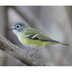 Note: dark cap contrasting with grayish/green back, and very strong contrast between gray cheek and white throat.