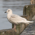 Juvenile. Note: very pale overall with a dove-like head.