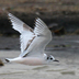 Immature (1st winter) in flight. Note: dark carpal bar on top of wing and dark cap.