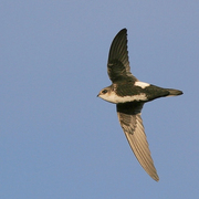 Adult. Note: white throat and belly